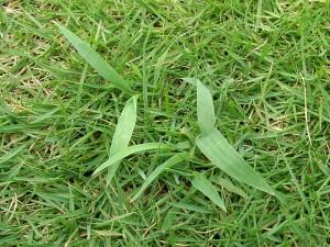 伐採後の草