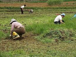 草刈り 阿久根