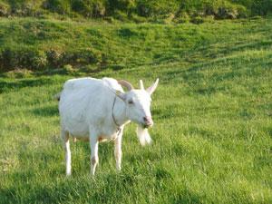 ヤギは草を食べる?