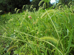 日照時間の長い鹿児島ならではの雑草